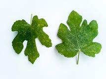 Plantenziekten en schade op het Witte vijgeblad van Genua stock afbeeldingen