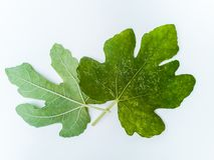 Plantenziekten en schade op het Witte vijgeblad van Genua stock afbeelding