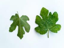 Plantenziekten en schade op het Witte vijgeblad van Genua royalty-vrije stock afbeeldingen