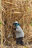 The planter harvested sugarcane. Stock Photos