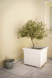 An Olive Tree growing in a pot Stock Photo