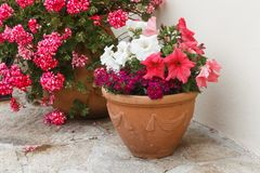 Planter with petunia flowers in a garden stock photos