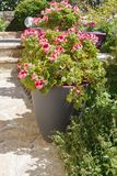 Planter with pink geranium flowers royalty free stock photos