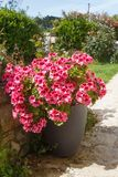 Planter with pink geranium flowers stock image