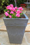 Planter with pink geranium flowers royalty free stock photo