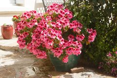 Planter with pink geranium flowers stock photos