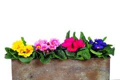 Planter Primrose spring Royalty Free Stock Photo