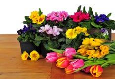 Planter Primrose spring Royalty Free Stock Image
