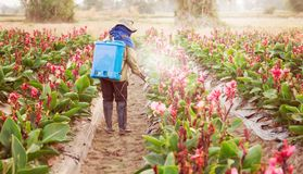 Spraying pesticide in partition Canna. Planter spraying pesticide in partition Canna at sunset stock images