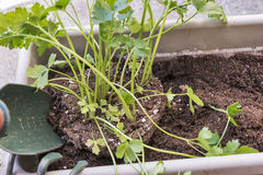 Plantera örter i en trädgård för fönsterask royaltyfria foton