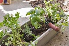 Plantera örter i en trädgård för fönsterask arkivbilder