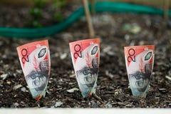 Plantera australiska pengar i trädgårds- säng Arkivfoton