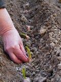 Plantera av vitlökkryddnejlikor Royaltyfria Foton
