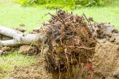 Plantera buxbom med rotar och smuts Arkivfoto