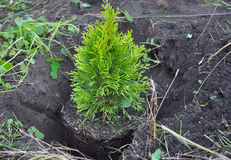 Plantera cypressen, rotar thujaen med (thujaen Occidentalis guld- Brabant) Arkivbild