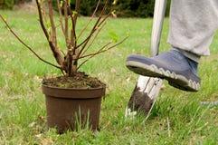 Plantera en buske royaltyfria foton
