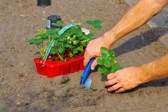 Plantera en jordgubbeväxt i trädgård royaltyfria bilder
