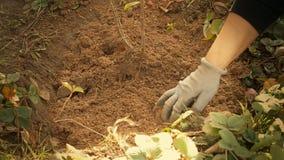 Plantera ett träd i jordningen stock video