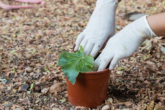 Plantera ett träd i kruka Royaltyfri Foto
