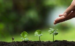 Plantera ett träd, väx kaffeträd, friskhet, händer som skyddar träd och att bevattna och att växa, gräsplan, Royaltyfri Foto