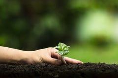 Plantera ett träd, väx kaffeträd, friskhet, händer som skyddar träd och att bevattna och att växa, gräsplan, Arkivbild