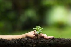Plantera ett träd, väx kaffeträd, friskhet, händer som skyddar träd och att bevattna och att växa, gräsplan, Fotografering för Bildbyråer