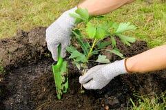 plantera för ginkgo arkivfoto