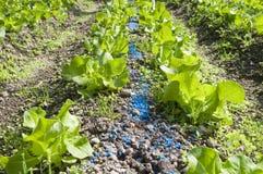 plantera för grönsallat Arkivfoton