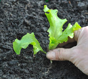 plantera för grönsallat Arkivfoto