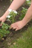 plantera för händer Royaltyfri Bild