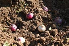 Plantera för hyacintkulor Kulor av hyacinten på trädgårds- jord Arkivfoton