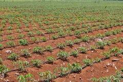 Plantera för kassava arkivfoto