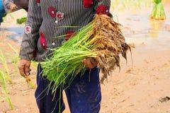 Plantera för klibbiga ris för bonde Arkivfoto