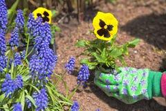 plantera för pansies Arkivbilder