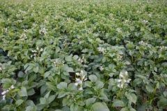 Plantera för potatis Arkivbild