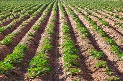 Plantera för potatis Royaltyfria Foton