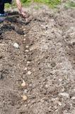 Plantera för potatisar Fotografering för Bildbyråer