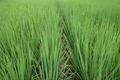 Plantera för ris Royaltyfria Foton