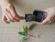 Plantera groddväxter plantera för händer Royaltyfri Fotografi