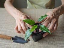 Plantera groddväxter plantera för händer Arkivbilder