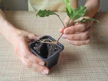 Plantera groddväxter plantera för händer Royaltyfri Foto