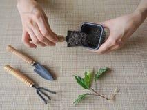 Plantera groddväxter plantera för händer Royaltyfria Bilder