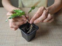 Plantera groddväxter plantera för händer Arkivfoto