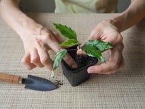 Plantera groddväxter plantera för händer Royaltyfri Bild