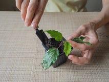Plantera groddväxter plantera för händer Fotografering för Bildbyråer
