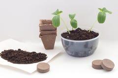 Plantera hemmastadda gurkor Fotografering för Bildbyråer
