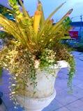 Plantera i dekorativ kruka Arkivfoto