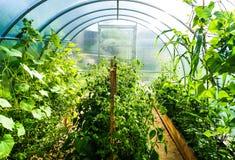 Plantera i ett poly karbonatväxthus arkivbilder