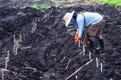 Plantera i kassavafält arkivfoto