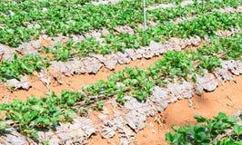 Plantera jordgubbar på berget Royaltyfria Foton